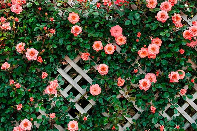 Вьющаяся роза для беседки